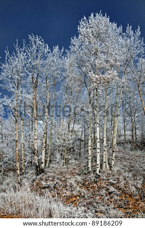 Early morning frost in an aspen grove