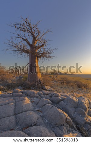 Early morning light on a baobab tree - stock photo