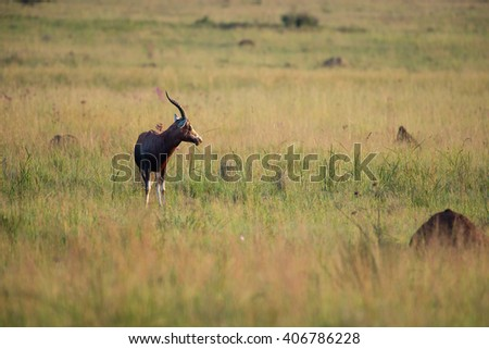 Early morning photo of a Blesbok in a grassland with ant hills - stock photo