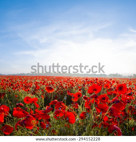 early morning red poppy field - stock photo