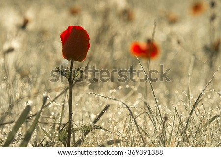 early morning rose, dew, drops, on a red anemone flower.  - stock photo