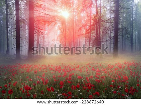 Early morning sun rays illuminate the dawn beautiful Carpathian landscape in the mist on the background of ancient trees are blooming field of summer flowers and poppies are red fire - stock photo