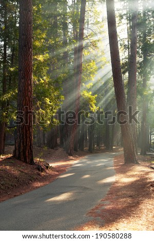 Early morning sunlight in the trees of Mariposa Grove, Yosemite National Park, California, USA - stock photo