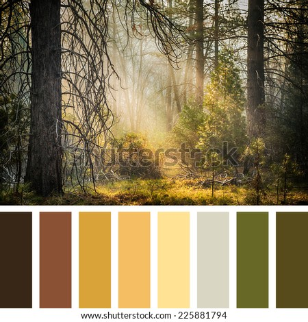 Early morning sunlight streams the the trees of Mariposa Grove, Yosemite, USA. In a colour palette with complimentary colour swatches. - stock photo