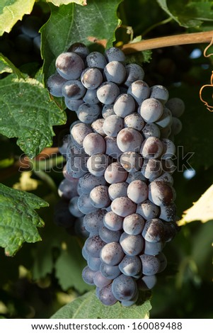 Early morning vineyard views before grape harvest - stock photo