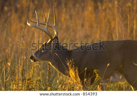 Early morning whitetail buck - stock photo