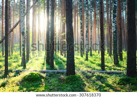 Early morning with sunrise in pine forest - stock photo