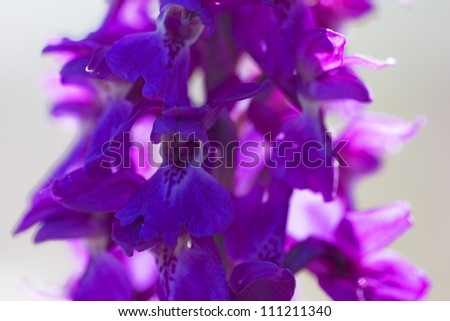Early Purple Orchid, closeup