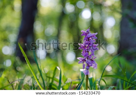 Early purple orchid in morning sunshine after rain. - stock photo