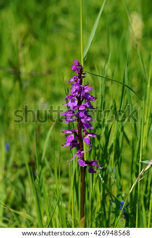 Early-purple orchid (Orchis mascula) in the meadow