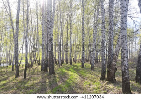 early spring birch forest against sun light