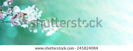 Early spring cherry blossom with clusters of flower buds, with beautiful spring green background. - stock photo