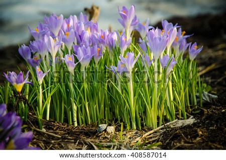 Early spring crocus flowers  - stock photo