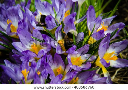 early spring crocuses purple shaggy bumblebee pollinating two  - stock photo
