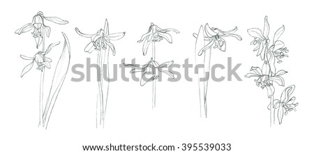 Early spring flowers - Scilla - Squill - hand pencil drawing