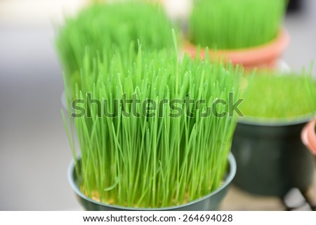 Early spring green market offerings/organic wheatgrass for sale in outdoor stall - stock photo