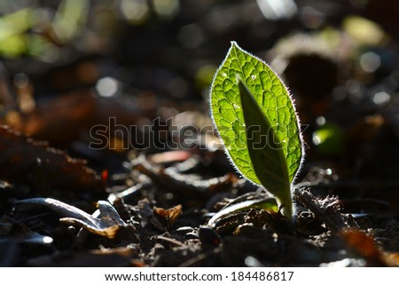 Early spring leaves against light - closeup photography