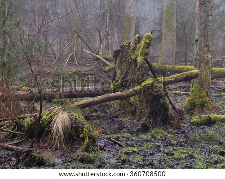 Early spring morning in forest with mist and broken tree,Bialowieza Forest,Poland,Europe - stock photo