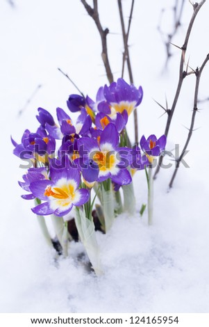 Early spring purple Crocus and bur in the snow - stock photo