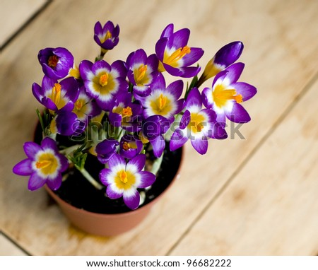 Early spring purple flower blooming spring flowers with composition of