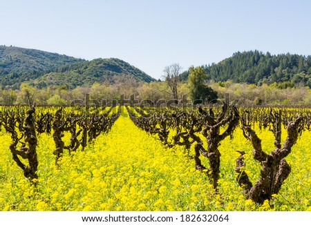 Early Spring Vineyard with Mustard in Full Bloom, Dry Creek Valley, Sonoma County, California, USA. - stock photo
