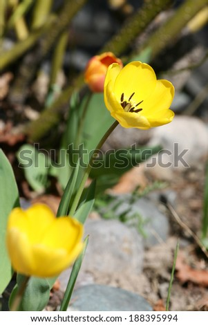 Early spring yellow tulip in rock garden