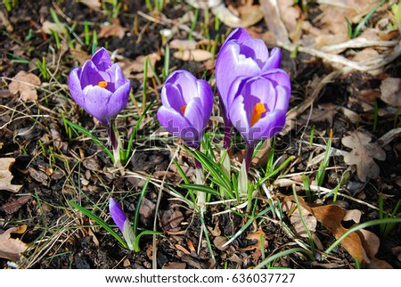 Early springtime with blossom crocus flowers