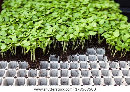 Early stage growth of flower sprouts in pots  - stock photo