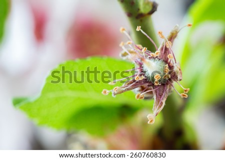 Early stage of almonds growing on a almon tree branch isolated on black- almond flowers as background  - stock photo