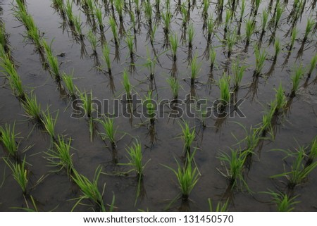 Early stage of rice field - stock photo