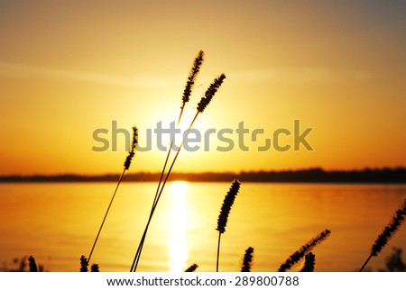 Ears at sunset background - stock photo