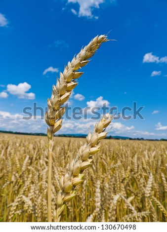 ears of barley on a cereal box of a farmer in the summer. - stock photo