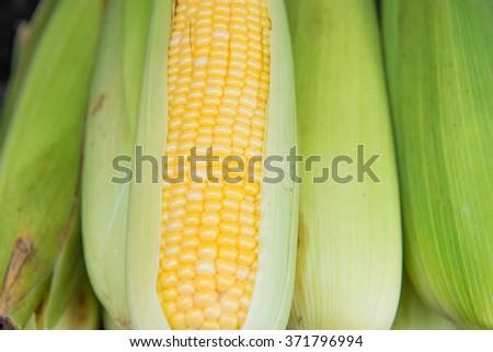 Ears of freshly harvested yellow sweet corn - stock photo