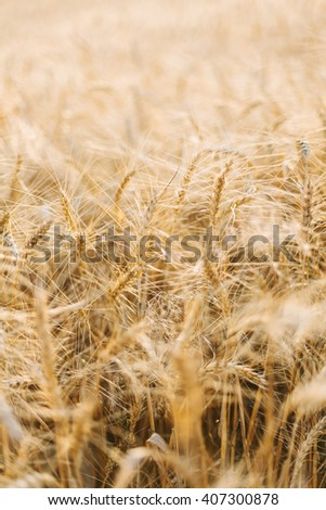 Ears of golden wheat close up. Wheat field. Background of ripening ears of meadow wheat field. Rich harvest Concept. Shallow focus. - stock photo