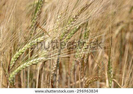 Ears of ripe barley growing on a farm field - stock photo