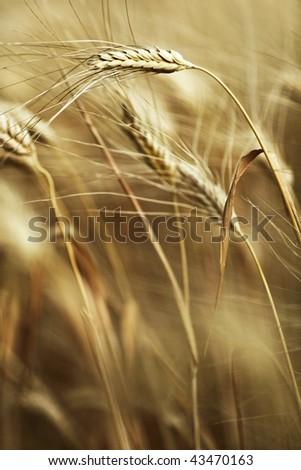 Ears of ripe barley ready for harvest growing in a farm field - stock photo