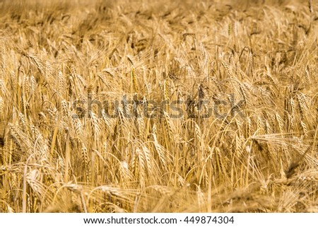 Ears of ripe wheat as the background