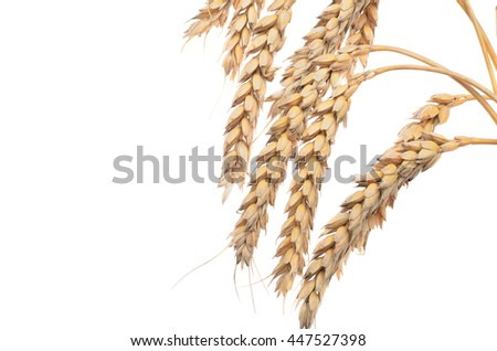 ears of ripe wheat on a white background. Concept of success. The end of the harvest.