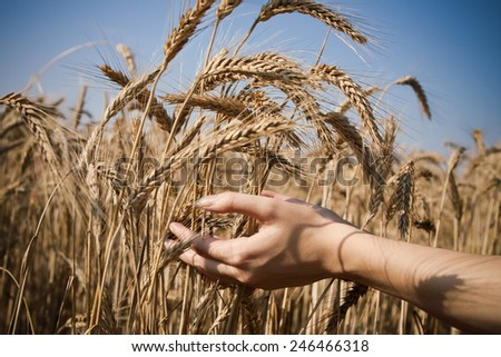 ears of rye in the hands of a young girl in sunny summer day - stock photo