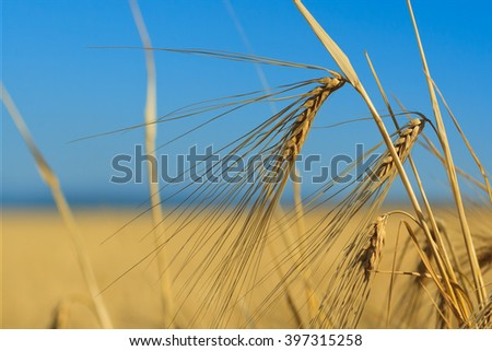 Ears of wheat against the sky, a close up