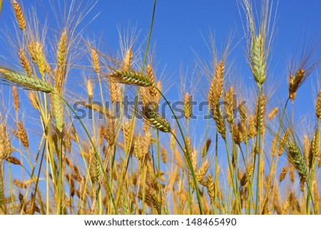 ears of wheat and a blue sky - stock photo