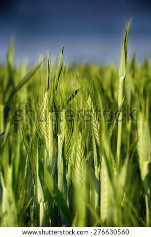 Ears of wheat. Background of fresh spring Green yellow wheat field ears close up with shallow depth Nature backdrop. Dramatic sky interpretation. HDR - stock photo