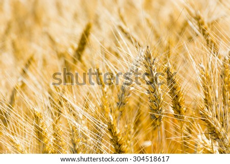 Ears of wheat close-up