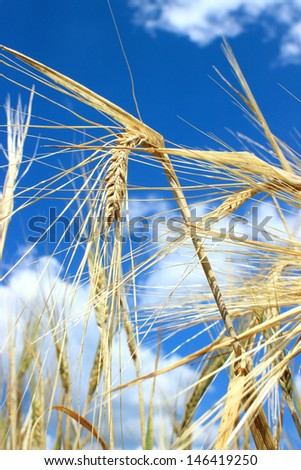 Ears of wheat closeup and beautiful sky in background