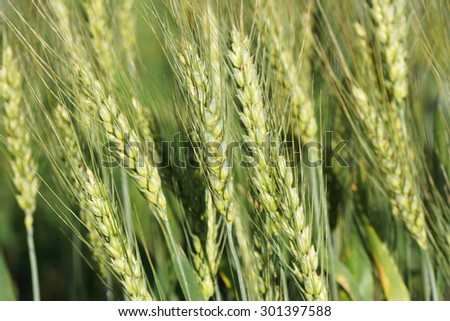 Ears of wheat growing in the field. Close-up.                                - stock photo