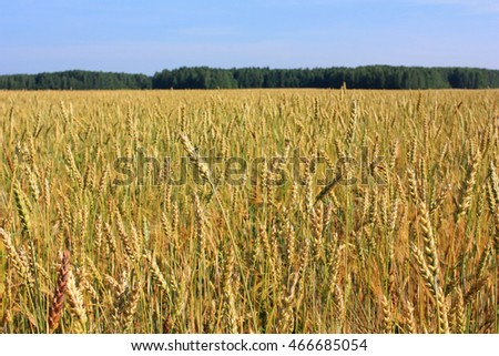 Ears of wheat in field