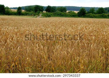 Ears of wheat in the country