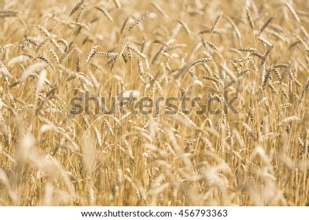 ears of wheat on a blurred background