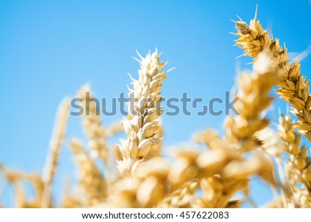 ears of wheat on a blurred background. Nature background