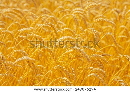 ears of wheat on filed close up  - stock photo